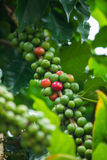 Green and red coffee beans Royalty Free Stock Images