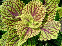 Green and red coleus Stock Images