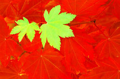 Green and red contrasting maple leaves Stock Photography