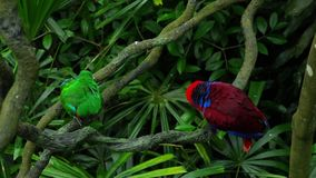Green and red couple parrots. Couple of Green red Parakeet Alexandrine Parakeet parrots perching at wood branch stock video footage