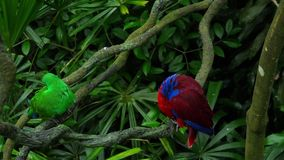Green and red couple parrots. Couple of Green red Parakeet Alexandrine Parakeet parrots perching at wood branch stock footage