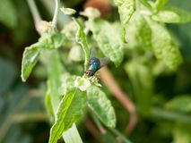 Green and red eyed insect fly Calliphora vomitoria Stock Photography
