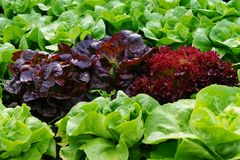 Green and red fresh leaf Lettuce. Close up of Lettuce growing, Crispy Salad on a bed, garden salad vegetable, flatlays stock images