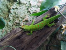 Green gecko on branch. Green / red gecko on branch in Wroclaw ZOO, Poland Stock Photo