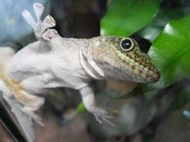 Green gecko on glass. Green / red gecko on glass in Wroclaw ZOO, Poland Royalty Free Stock Image