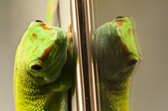 Green and red geko reflecting on a glass Royalty Free Stock Images