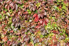 Green and red grape leaves backdrop, colorful foliage texture background close up, autumn or summer design, copy space stock image