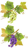 Green and Red Grapes. Stock Photos