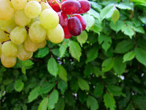 Mixed grapevine Royalty Free Stock Photos