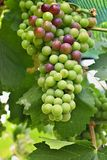 Green and red grapes on vine Royalty Free Stock Photo