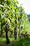 Green and red grapevine outdoor in autumn summer Stock Photography