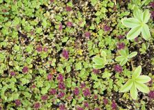 Green and red groundcover Stock Image