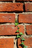 Green and red. Green ivy on the brick wall Stock Images