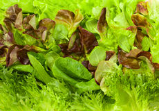 Fresh lettuces Royalty Free Stock Photos