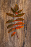 Green-Red Leaf of Rowan Lying on a Wooden Board Royalty Free Stock Image