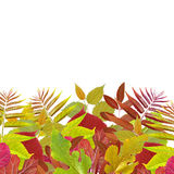 Green and red leaf. Yellow and red leaf on white background Stock Photo