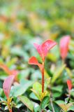 Green red leaves branch sprout. Green red leaves, branches, sprouts, red trunks, new branches, some leaves are green, a magical sapling royalty free stock photo