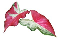 Green Red Leaves of Caladium Plant Isolated on White Background. Green Red Leaves of Caladium Tropical Plant Isolated on White Background royalty free stock images