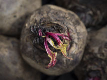 Green and Red Leaves Emerging from a Dried Beet. A dry brown Beet in a New York City farmers market with tiny stems and leaves emerging Royalty Free Stock Photography