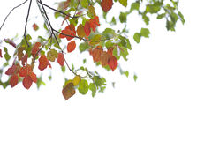 Green and red leaves on white background Royalty Free Stock Photos