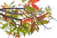 Green and red leaves on white background Stock Images