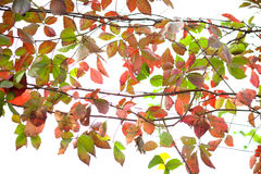 Green and red leaves on white background Stock Photography