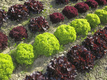 Green and red lettuce Stock Photography