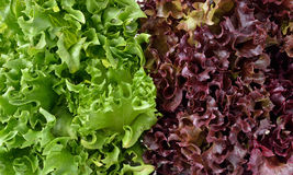 Green and red lettuce Royalty Free Stock Images