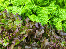 Green and red lettuce growing in the garden Stock Image