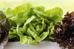 Green and red lettuce Stock Photos