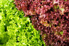 Green and red lettuce salad, Lollo Rosso, for backround.  Stock Photos