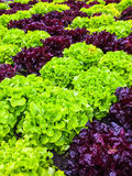 Green and red lettuce in the summer garden Royalty Free Stock Image
