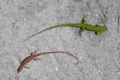 Green and red lizard on concreet Royalty Free Stock Photo