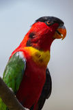 Green Red Lorikeet Bird Close Stock Images