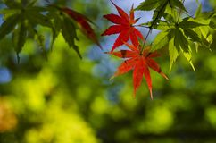 Green and red Maple Stock Photography