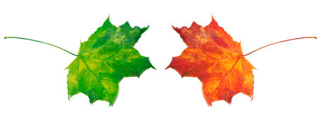 Green and red maple-leafs on white background Royalty Free Stock Photo