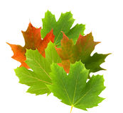 Green and red maple leaves Stock Photo