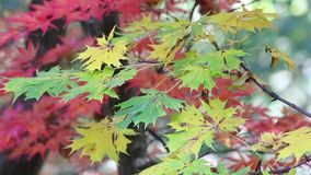 Green and red maple leaves in the breeze stock footage