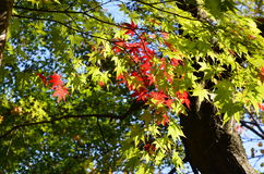 Green and Red Maple leaves Royalty Free Stock Photography