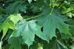 Green Maple Tree leaves in Malone, New York, United States. Green and red maple tree leaves located in Malone, New York, United States Stock Image