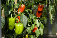 Green and red pepper. Grow of green and red pepper Stock Images