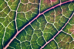 Green and red Poinsettia leaf. Close-up on the veins of a green and red Poinsettia leaf Royalty Free Stock Photo