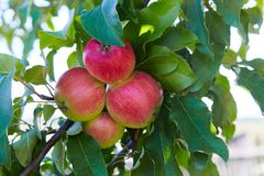 Green and red ripe apples growing in the garden royalty free stock photos