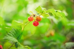Green and red ripe raspberries grow on a branch. In the garden in the village Stock Photos