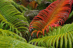 Green red sadleria fern background. Sadleria fern in Haleakala crater Maui, Hawaii. The fronds are red when new, green when mature and yellow when old royalty free stock photos