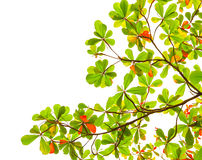 Green and red sea almond leaves with tree branch isolated on whi Stock Images