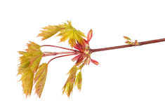 Green and red spring maple leaves isolated on white Royalty Free Stock Photo