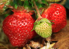 Green Red Strawberries Stock Photography