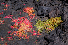 Green and red succulent plants growing in the rocks of lava in the national park of Lanzarote, Canary Islands Spain Royalty Free Stock Photos