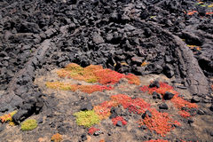 Green and red succulent plants growing in the rocks of lava in the national park of Lanzarote, Canary Islands Spain Stock Image